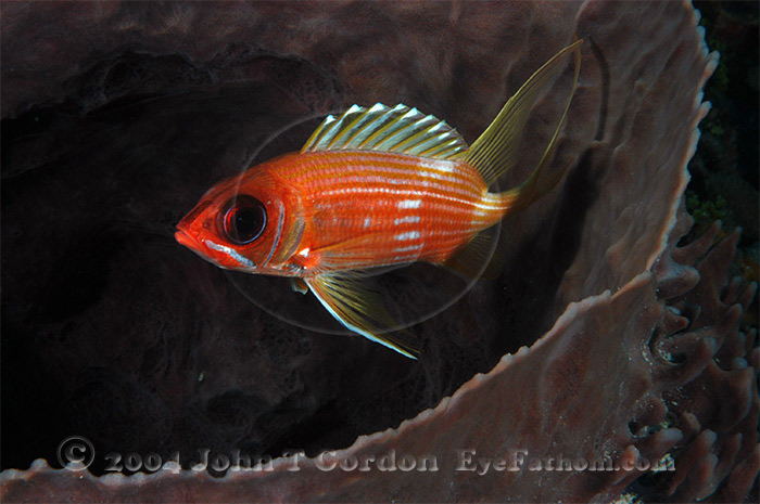 Eyefathom.com Photos - Longspine Squirrelfish in Sponge