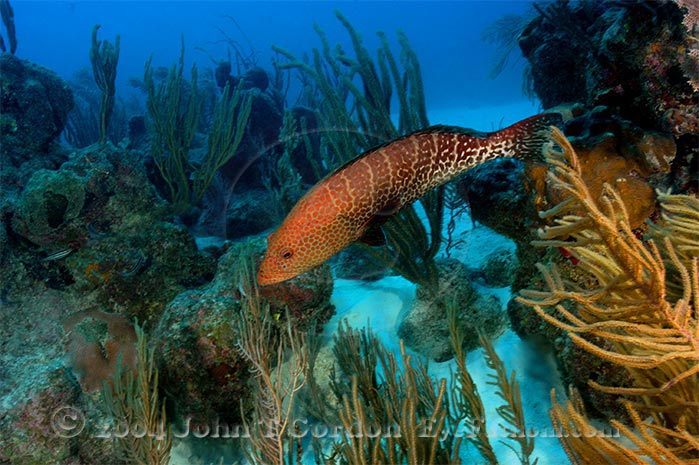 Eyefathom.com Photos - Tiger Grouper over Reef