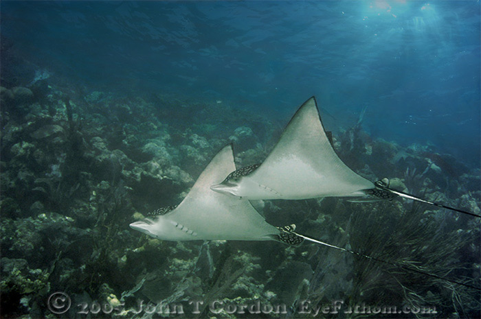 Eyefathom.com Photos - Eagle Ray Pair at Hol Chan