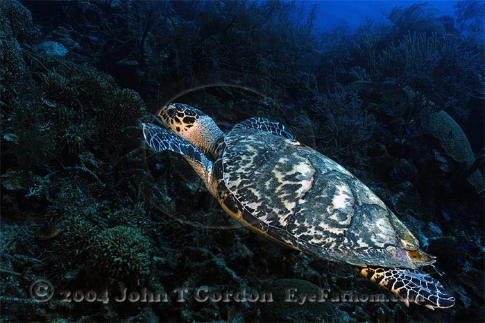 Eyefathom.com Photos - Hawksbill Turtle Climbing Reef