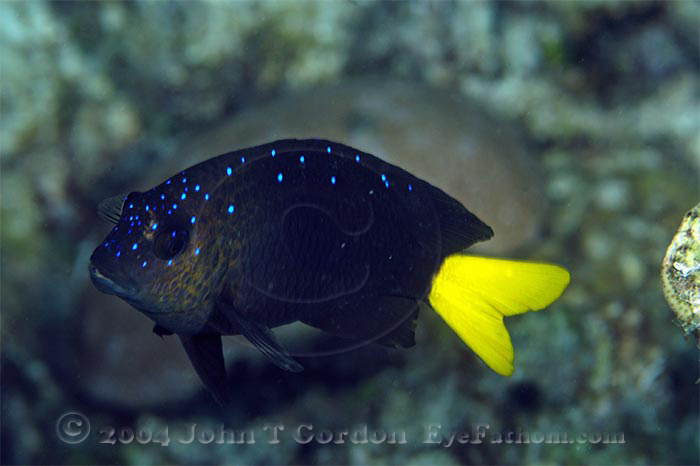 Eyefathom.com Photos - Yellowtail Damselfish