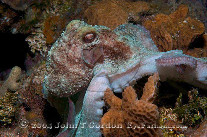 Eyefathom.com Photos - Caribbean Reef Octopus 9