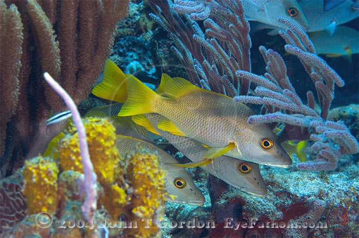 Eyefathom.com Photos - Schoolmasters on Reef