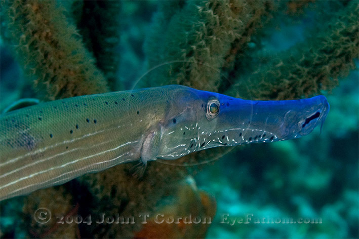 Eyefathom.com Photos - Trumpetfish Blue Phase