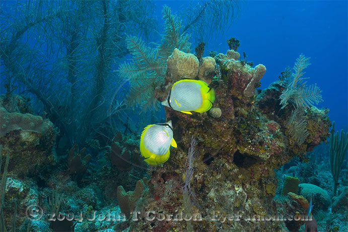 Eyefathom.com Photos - Spotfin Butterfly Pair on Scenic Reef