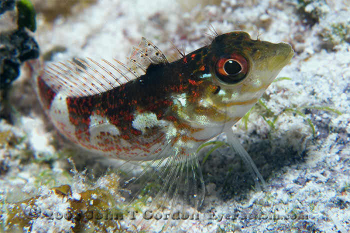Eyefathom.com Photos - Saddled Blenny Profile 4
