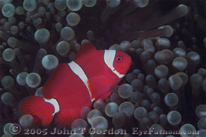 Eyefathom.com Photos - Spinecheek Anemonefish