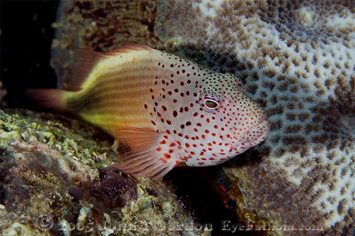 Eyefathom.com Photos - Freckled Hawkfish Portrait