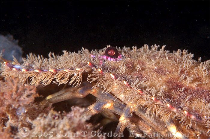 Eyefathom.com Photos - Slipper Lobster Profile