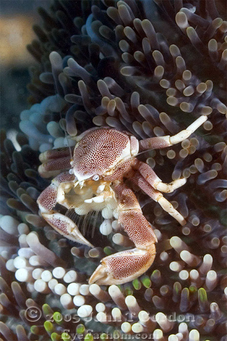 Eyefathom.com Photos - Anemone Crab 3