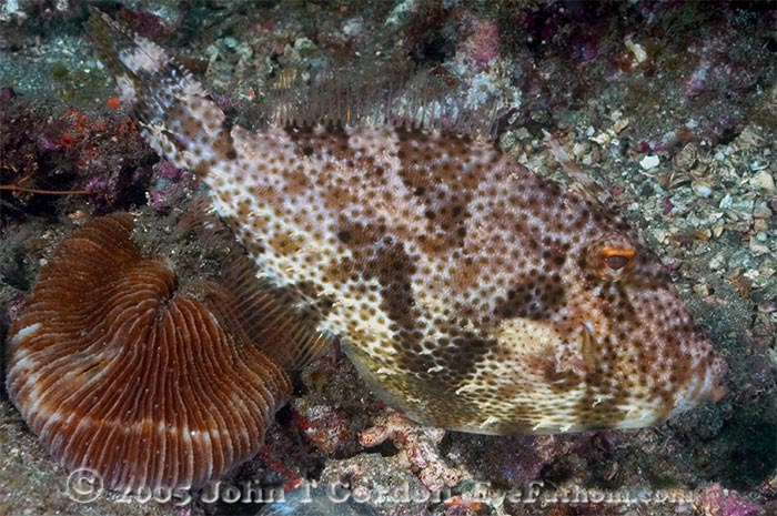 Eyefathom.com Photos - Strapweed Filefish Profile 3