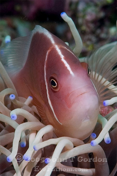 Eyefathom.com Photos - Pink Anemonefish Portrait