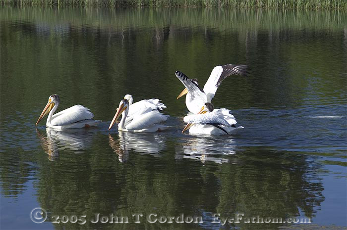 Eyefathom.com Photos -  American White Pelican Swimming 2