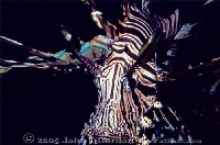 Common Lionfish  PNG