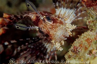 Spotfin Lionfish Portrait