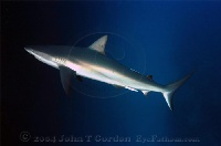 Reef Shark Profile