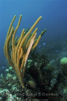 Trumpetfish Hiding on the Reef