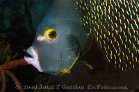 French Angelfish Portrait