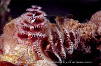 Christmas tree worm Red & White