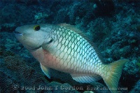 Yellowtail Parrotfish