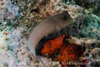 Redlip Blenny Profile