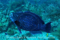 Midnight Parrotfish Terminal Phase