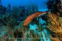 Tiger Grouper over Reef