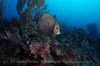 Gray Angelfish on Senic Reef