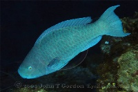 Blue Parrotfish Terminal Phase