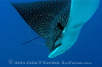 Eagle Ray Diving