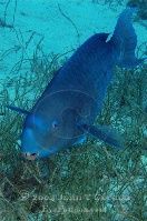 Blue Parrotfish Terminal Phase 2