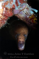 Goldentail Moray Eel 2