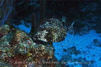 Smooth Trunkfish on Reef