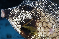 Smooth Trunkfish Portrait