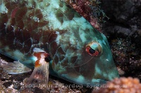 Redtail Parrotfish Night Coloration
