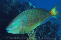 Stoplight Parrotfish Terminal Phase