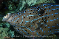 Scrawled Filefish Portrait 2