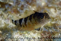 Saddled Blenny Profile 1