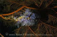 Tunicates on Black coral