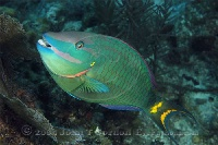 Stoplight Parrotfish Terminal Phase 3