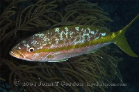 Yellowtail Snapper at Night