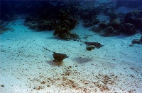 Southern Stingray Pair over Sand