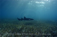 Nurse Shark in Sunrays