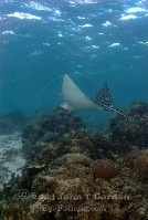 Eagle Ray above Reef