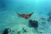 Eagle Ray in Sunlight