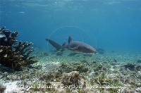 Nurse Shark on Shallow Reef