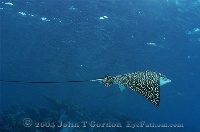 Eagle Ray Flying