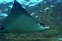 Eagle Ray Flying 2