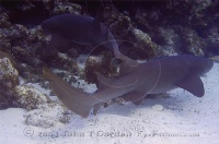 Nurse Sharks Swimming Off