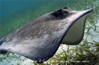 Southern Stingray Flying Along